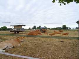 Friedlich weiden die Kühe im Gras